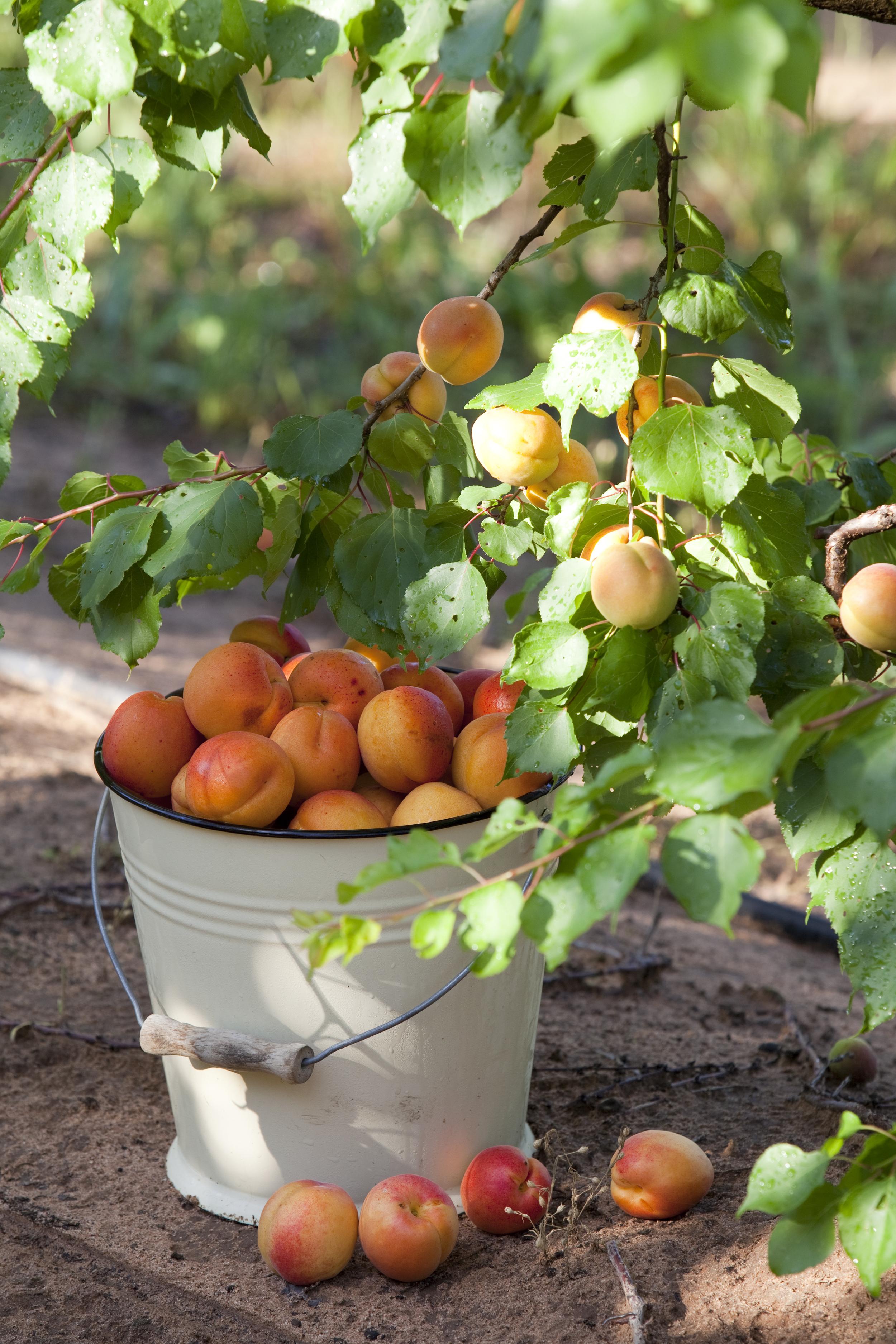 Apricots-35.jpg