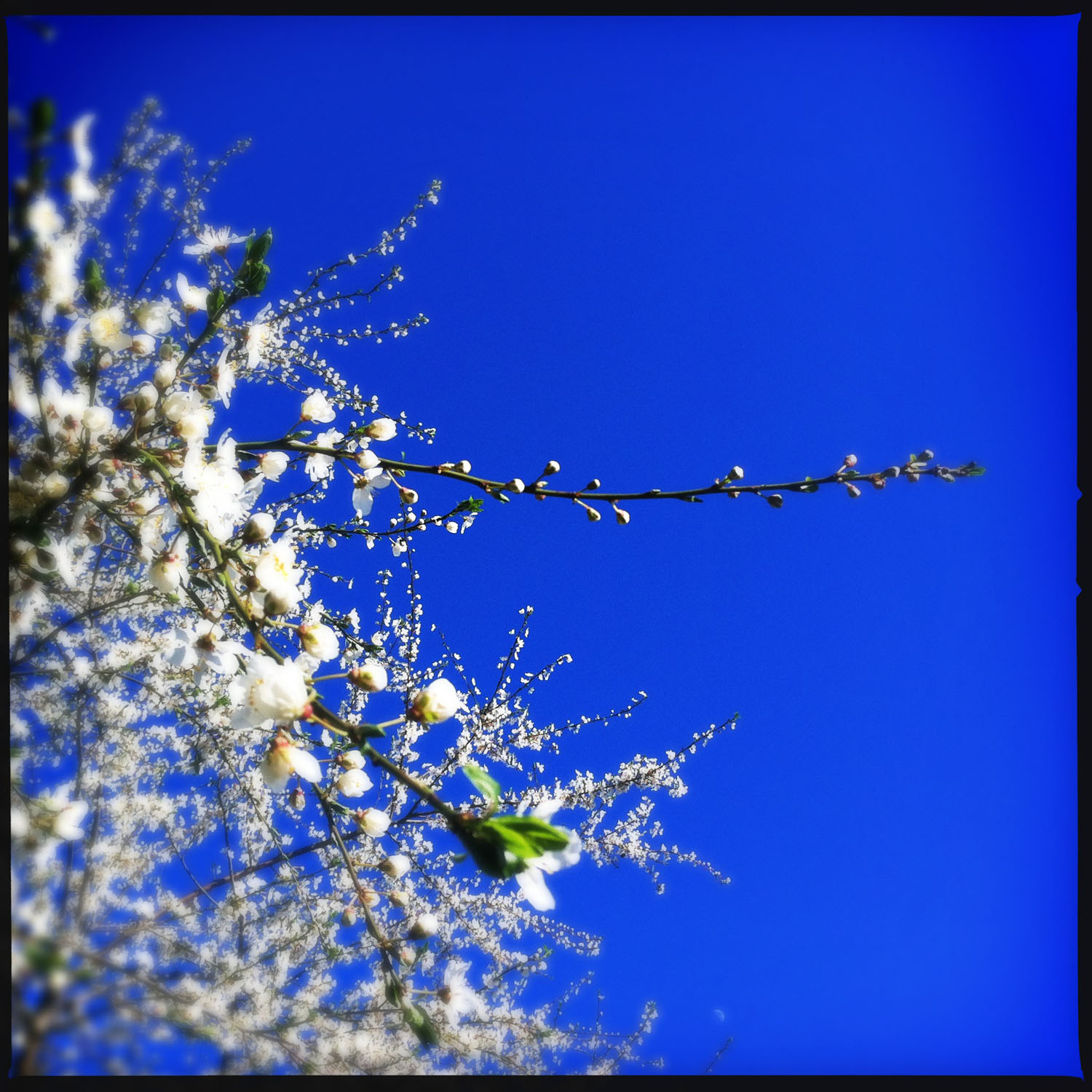 mobile photography: spring blossoms