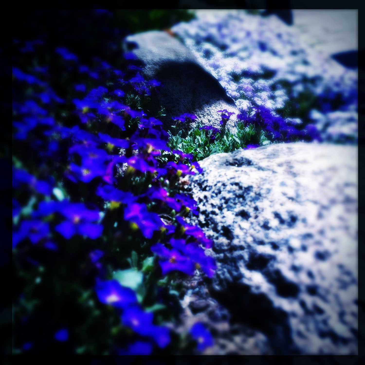 iPhoneography: blue flowers