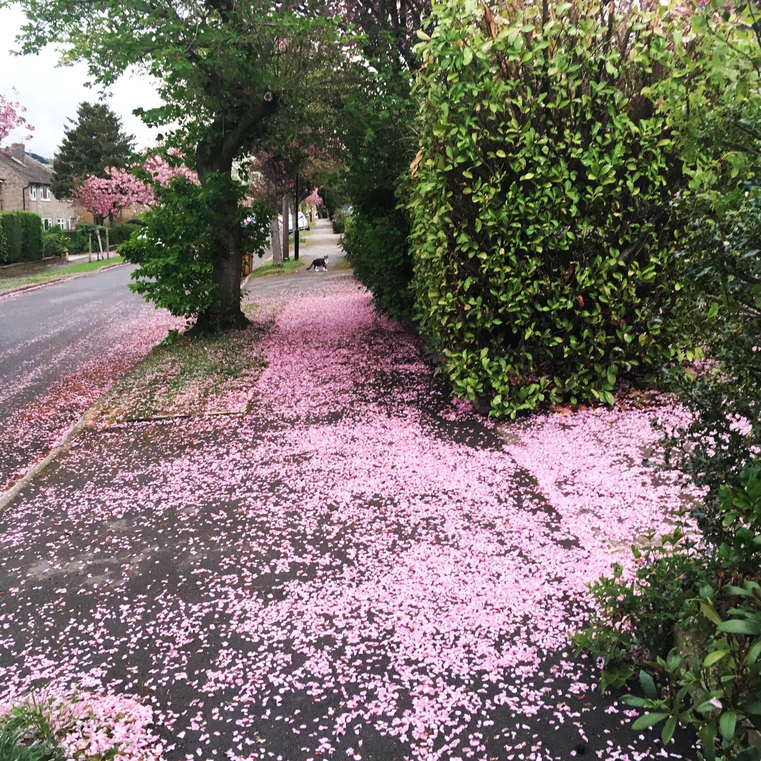 cherry-blossom-storm.jpg