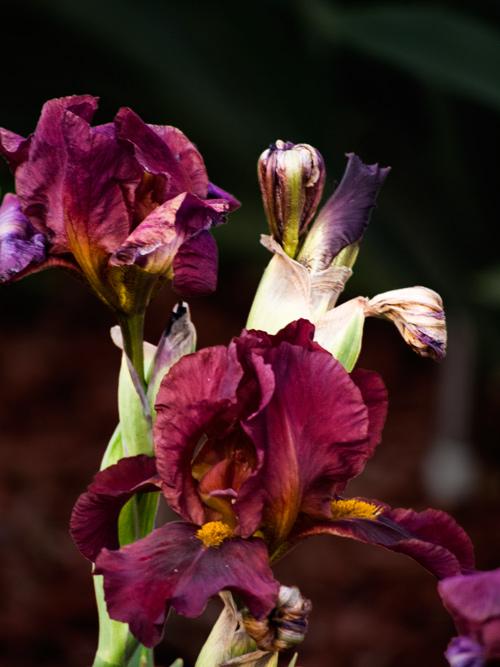 2012-irises-2.jpg