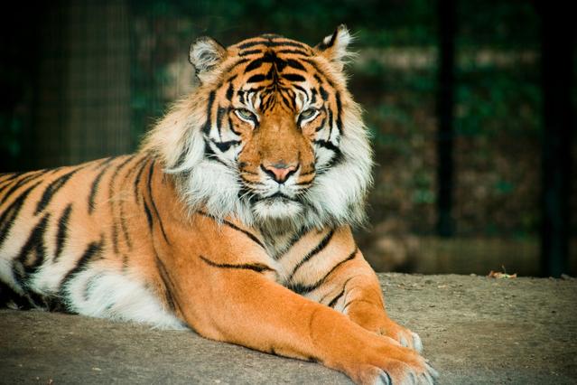 tiger-1250900-639x426.jpg