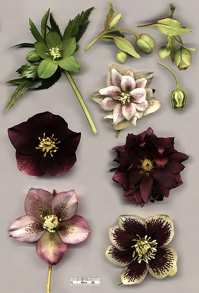Hellebore_flowers.jpg