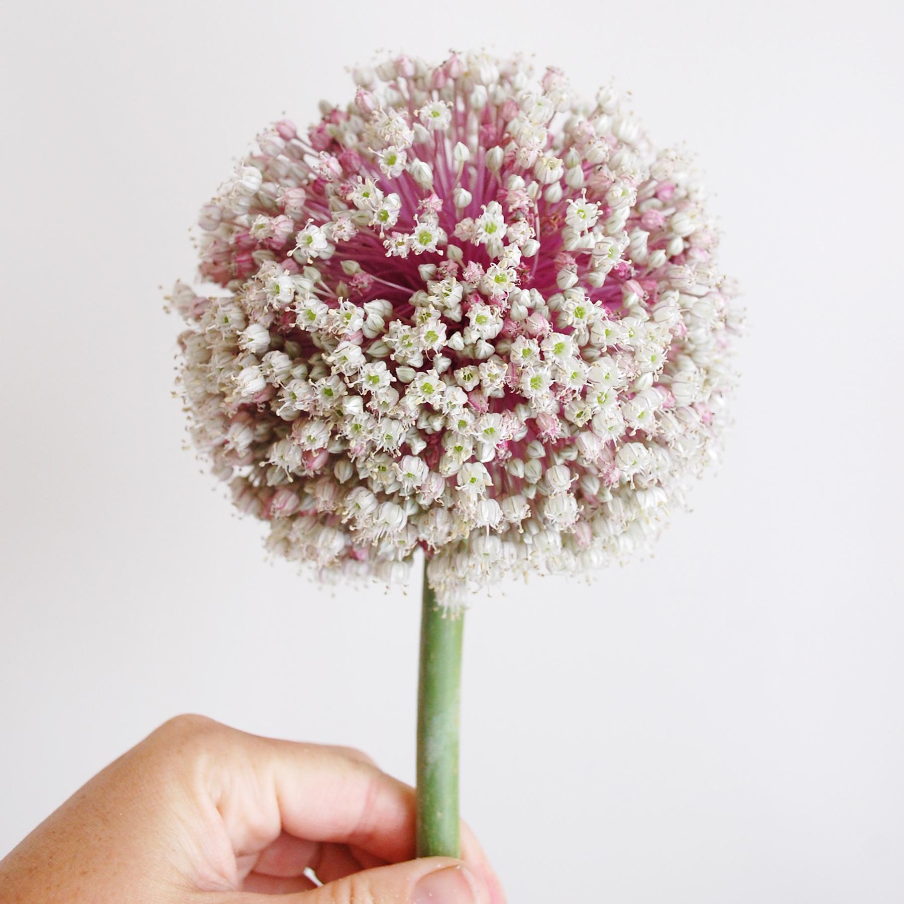 Onion Bloom, full bloom.