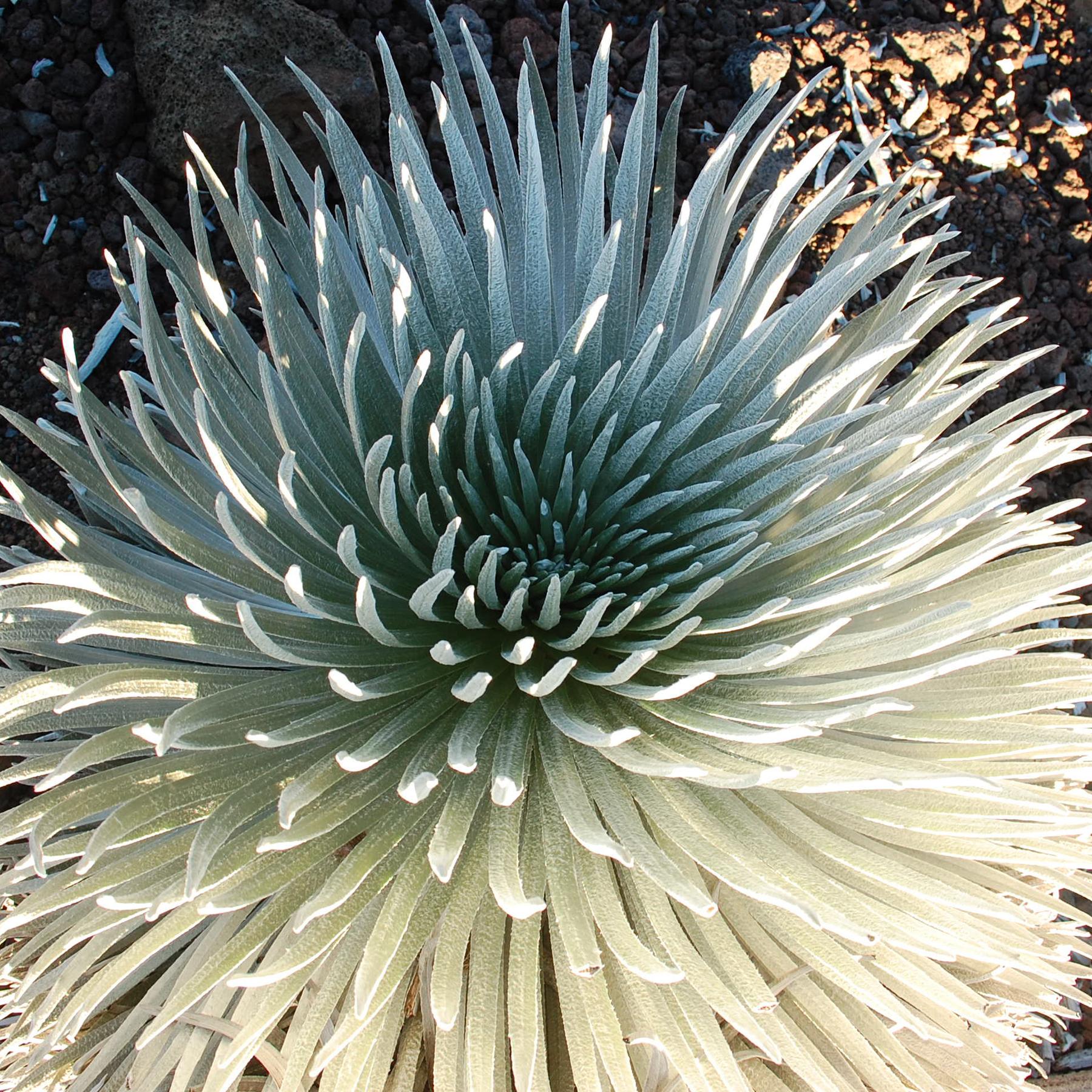 Silversword-ahinahina-plant.jpg