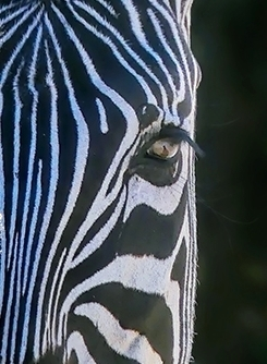 Zebra Looking at Me
