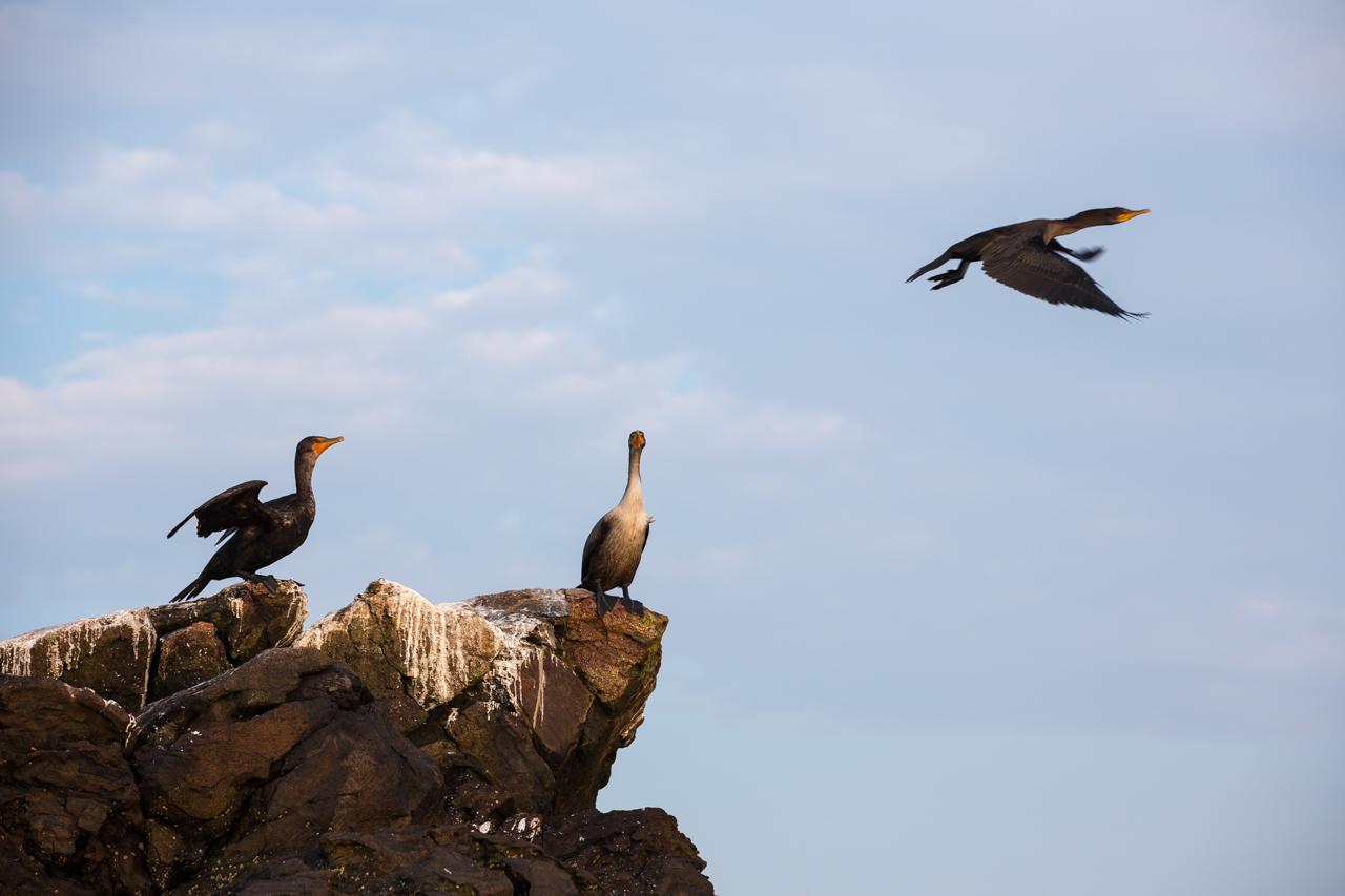 Cormorants in Flight #3