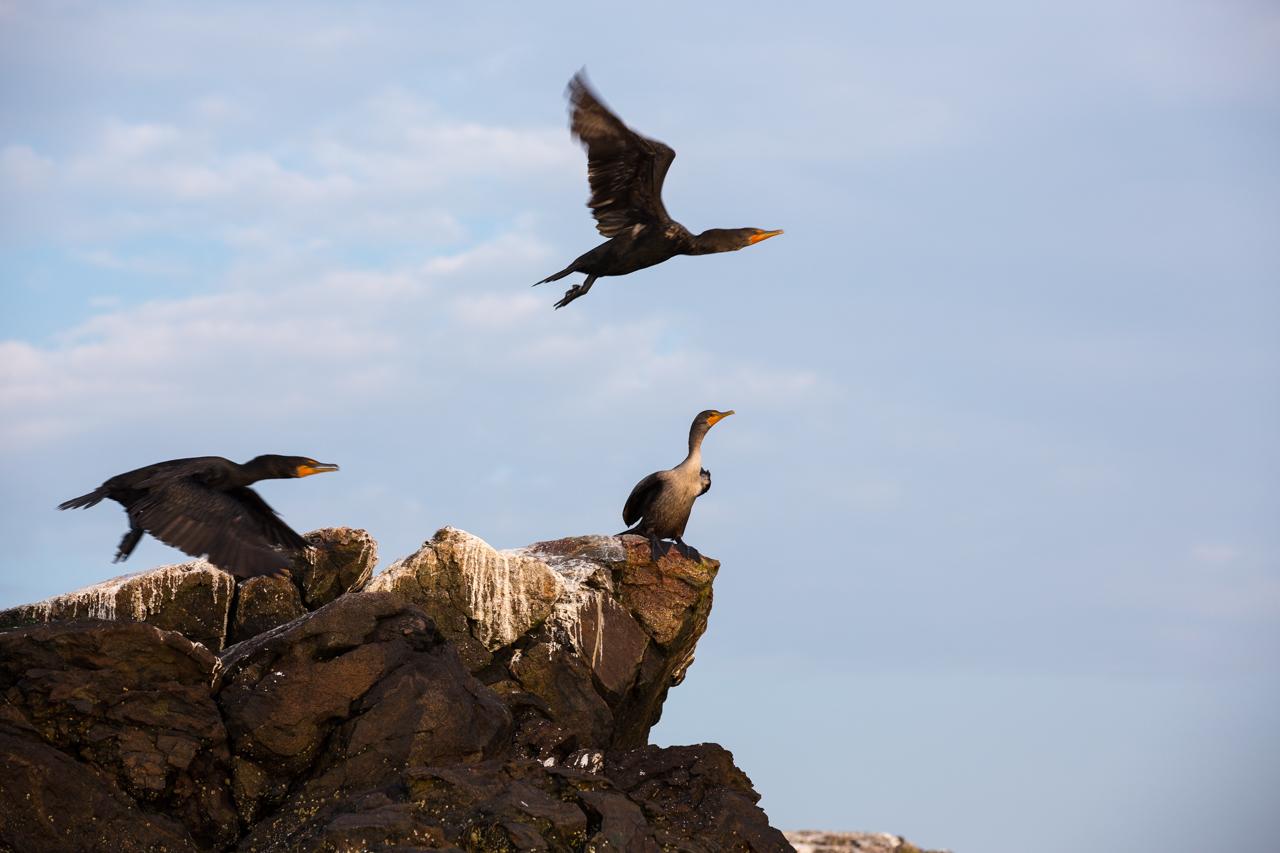 Cormorants in Flight #2