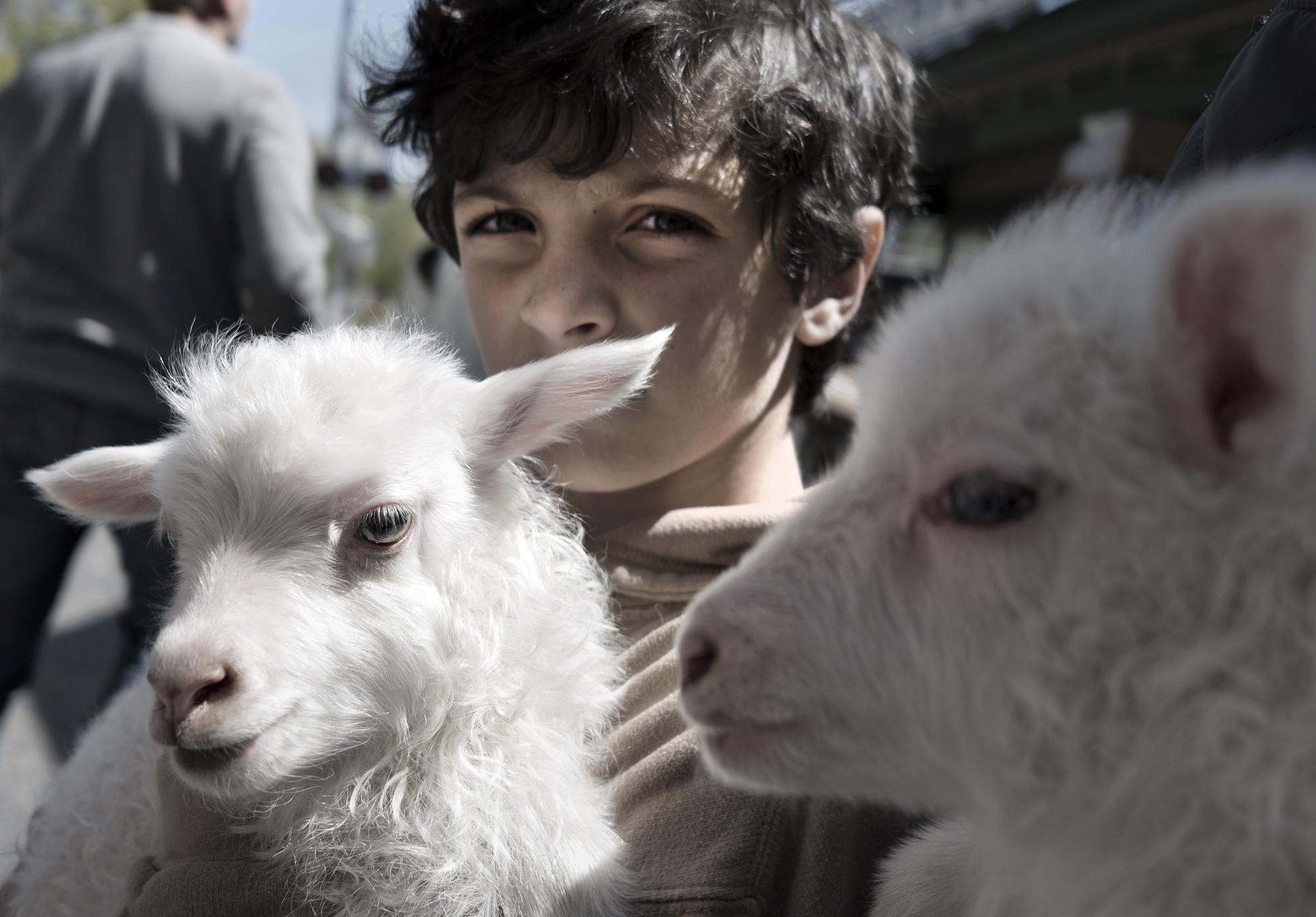 Lambs. Peconic, NY