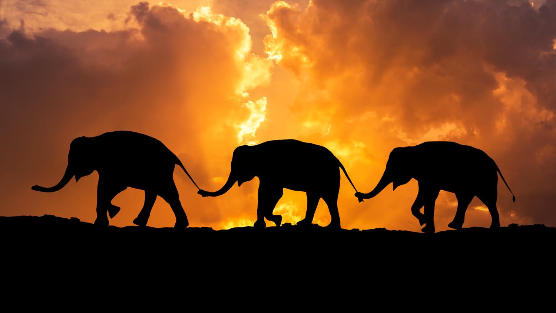 elephants walking in line.jpg