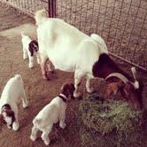 My goat Annie had three.