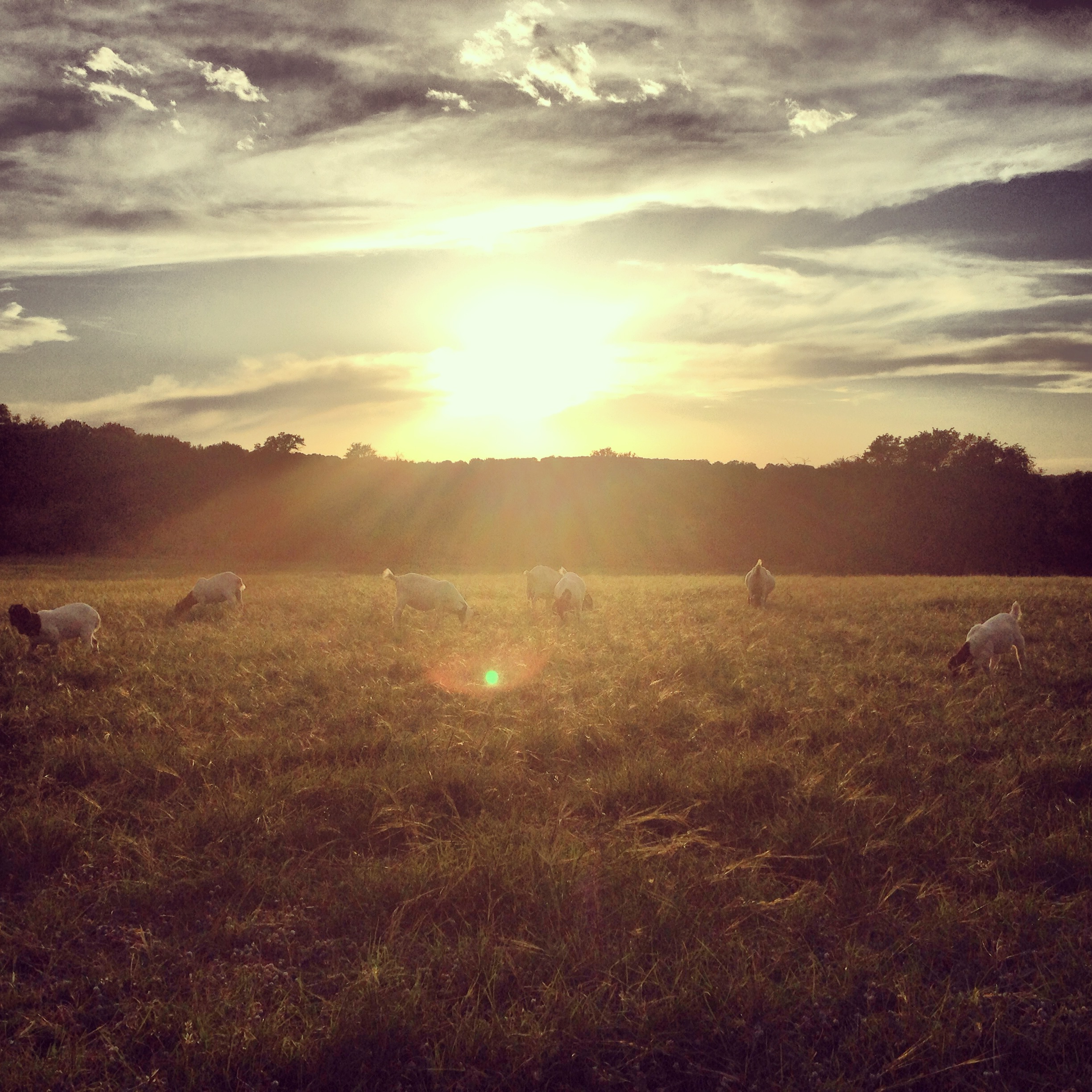 The sun has set once again on an eventful weekend. (The goats were not ready to go into the barn)