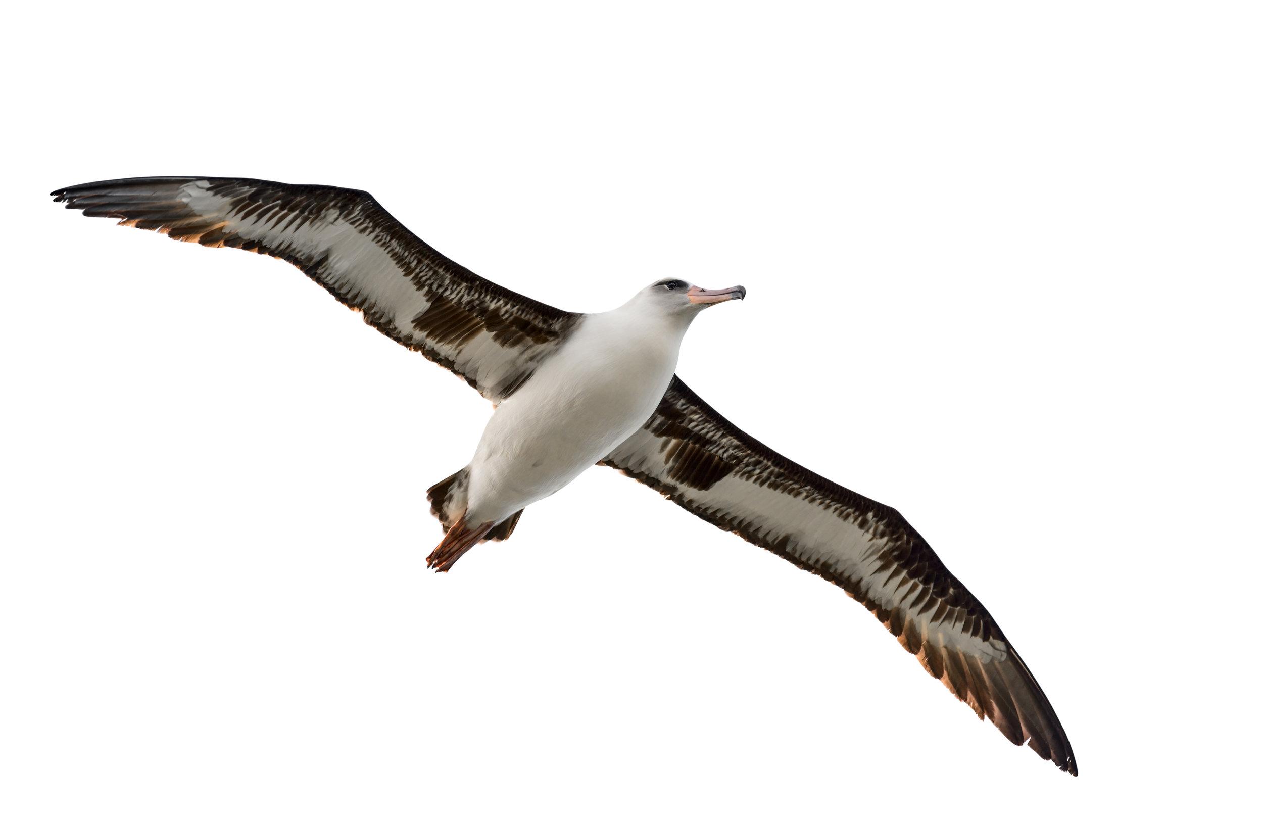 albatross-isolated-on-white-539041989_7740x5024.jpeg