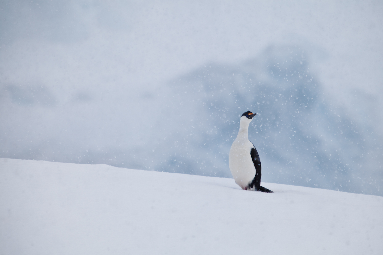 Antarctic Shag. Melchior Island.