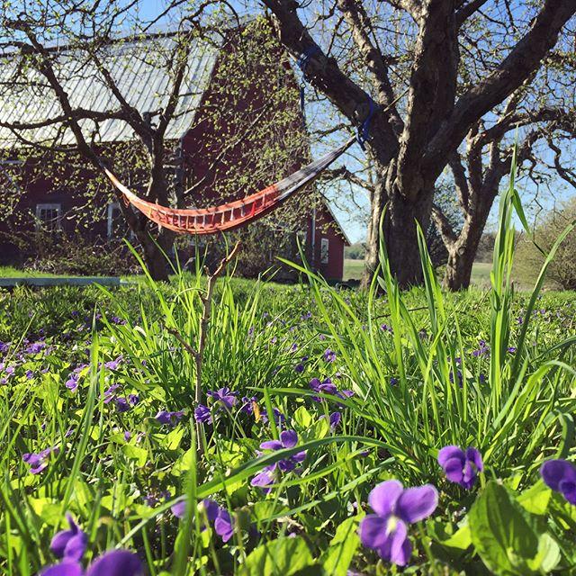 Magical day of farming and wild crafting. #violet #wildcraft #magic #honorableharvest #wwoofusa #springtimeinvermont #giftsoftheland #earthmedicine #folkmedicine #witchesofinstagram #gratefulharvest #iwishicouldbottlethisday