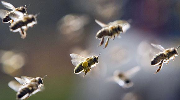 Bees-in-flight-fromorgnanizedchaosdotcom.jpg
