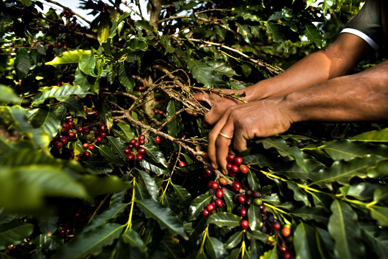 Handpicking Coffee Cherries