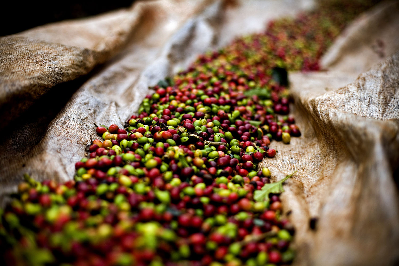 Mixed Coffee Cherries