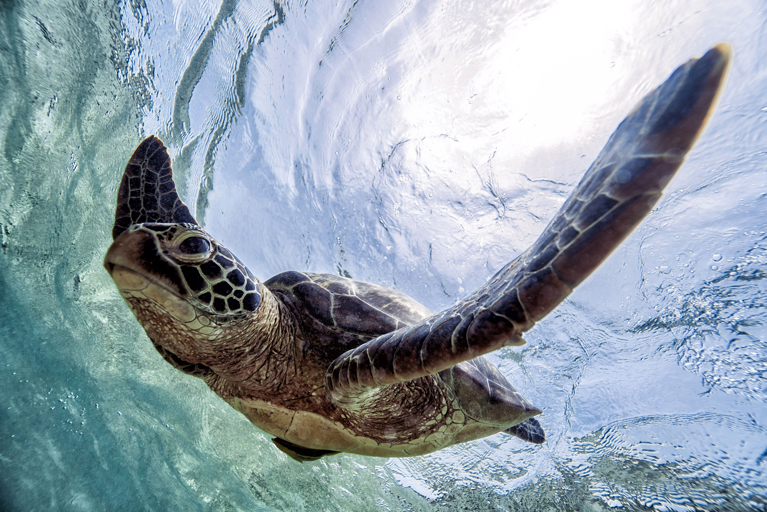 Sea Turtle in the Philippines 2