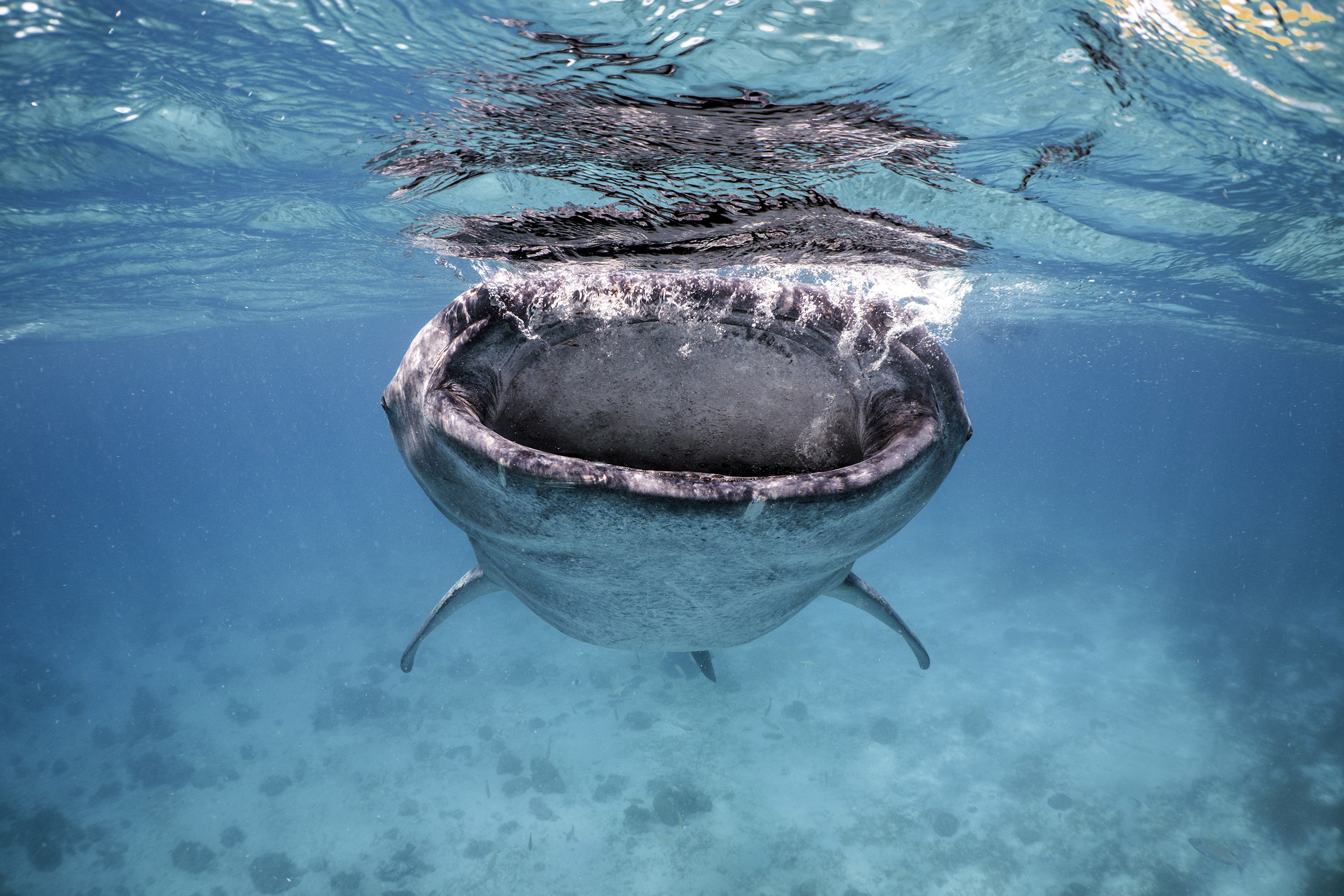 Whale Shark in the Philippines