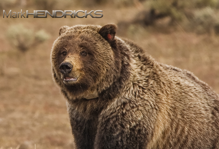 Grizzly Bear Sow. Yellowstone National Park.