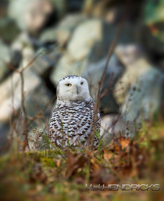 Snowy Owl Merrill Creek Reservoir December 2011