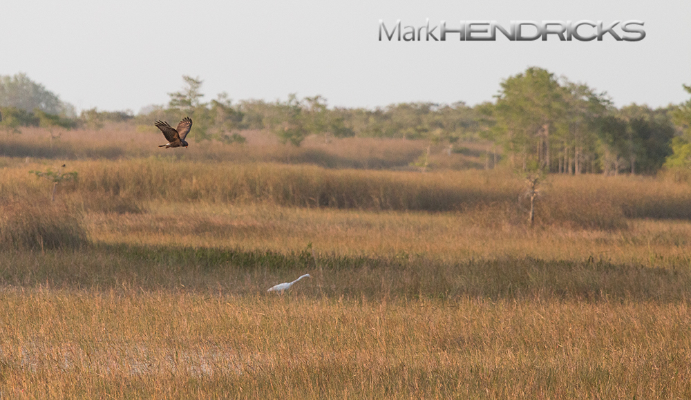 An endangered Snail Kite hunts Apple Snails in the expansive Big Cypress National Preserve, near the location of the surveying.