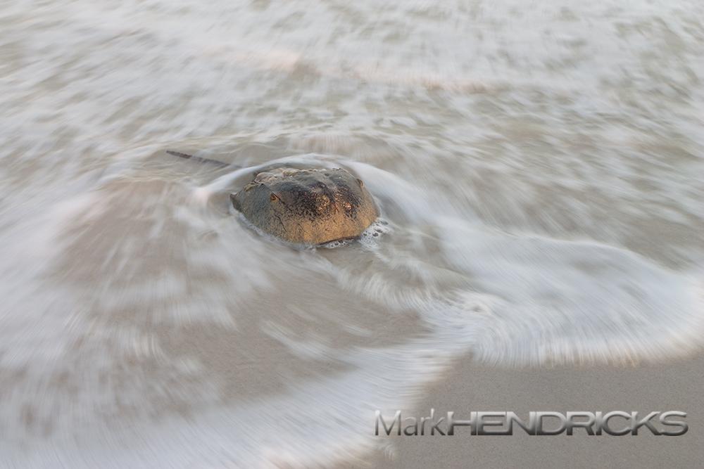 A Horseshoe Crab arrives on a beach along Assateague Island National Seashore