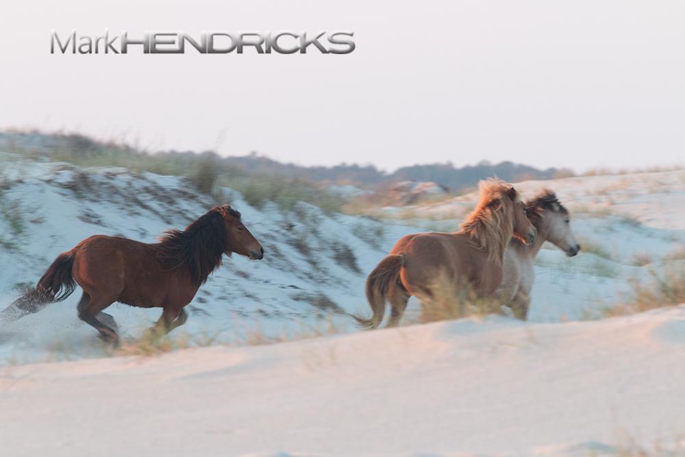 A Wild Horse herd galloping along the sand dunes of Assateague Island.