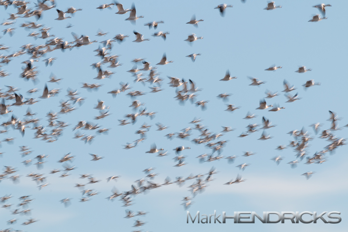 Flock of Snow Geese wintering on the Delmarva Peninsula