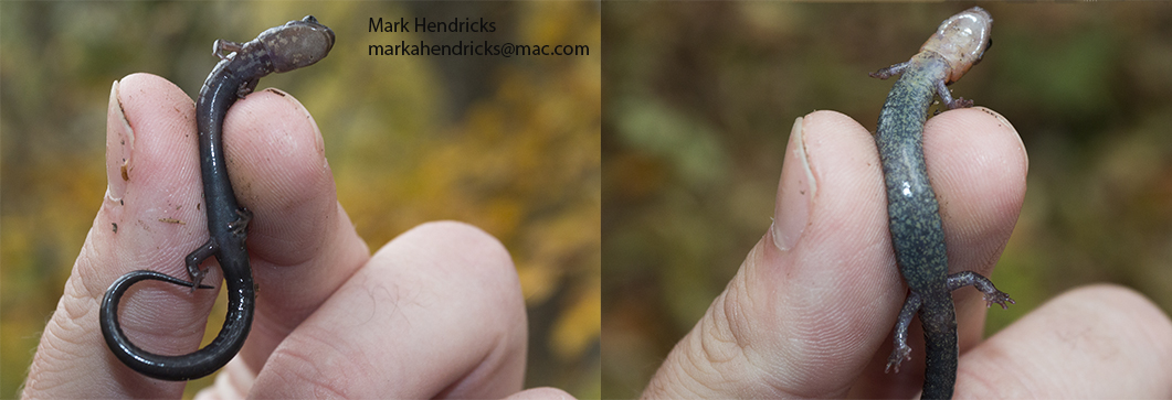 """A comparison of the ventral sides of the endangered Shenandoah Salamander (right) and the more common Eastern Red Backed Salamander (left). Shenandoah salamanders have a more solid black ventral side and Eastern Red Backed Salamanders have the more mottled """"salt and pepper"""" ventral side. Climate change is the biggest threat facing the Shenandoah Salamander and it is feared that as the temperature rises and Eastern Red Backs make their way higher up the mountains where the Shenandoah Salamander lives, the Eastern Red backs wills displace the Shenandoah's as they are more aggressive."""