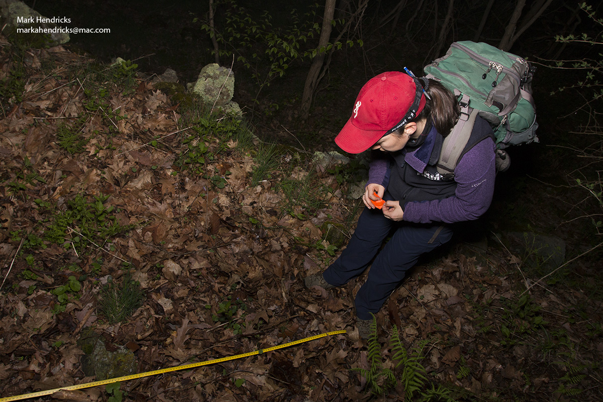 A researcher surveying for Shenandoah Salamanders at night. Using a tape measure that goes down a mountain in Shenandoah National Park, the researchers search for the nocturnal salamander and take note of when they encounter one. This is a noninvasive methodology.