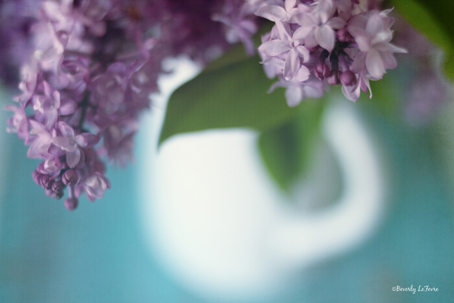 Lilacs coming to the shops soon