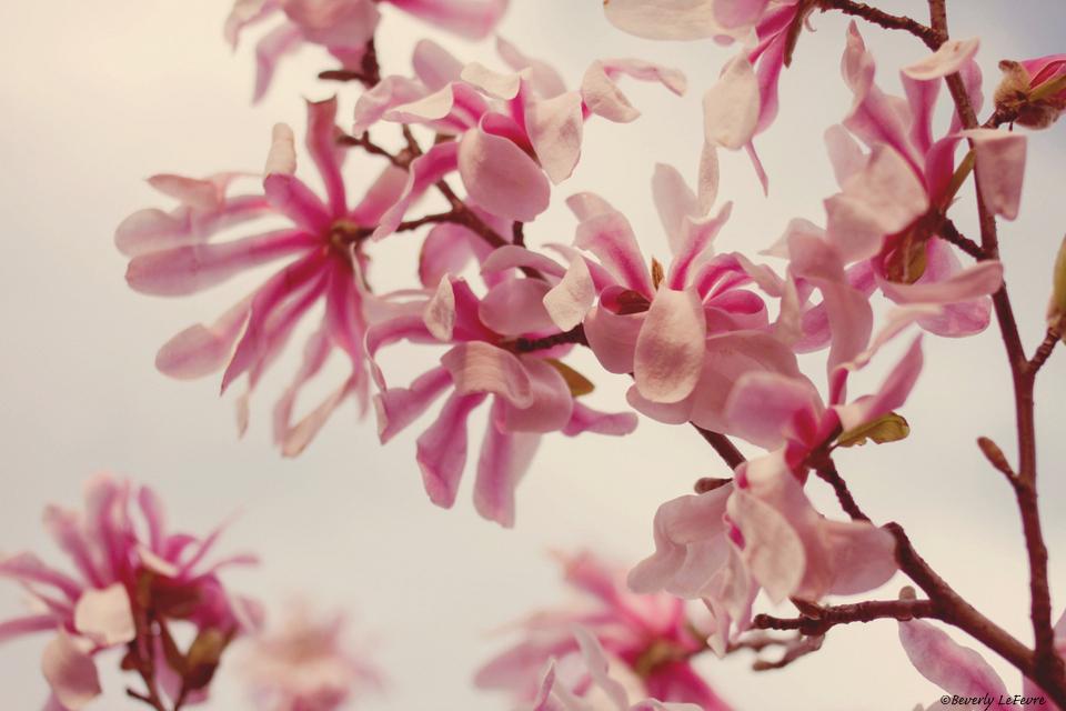 pink star magnolias