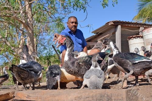 Ravin Kumar feeds his ducks at Navau, Ba. Picture: BALJEET SINGH
