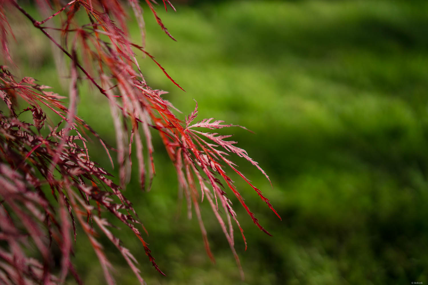 Japanese Maple Spring | 365 Project | April 26th, 2013 | 35mm, f/1.8, ISO 200, 1/3200