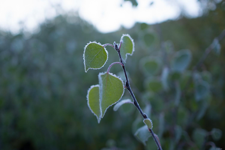 Bearded leaf.jpg