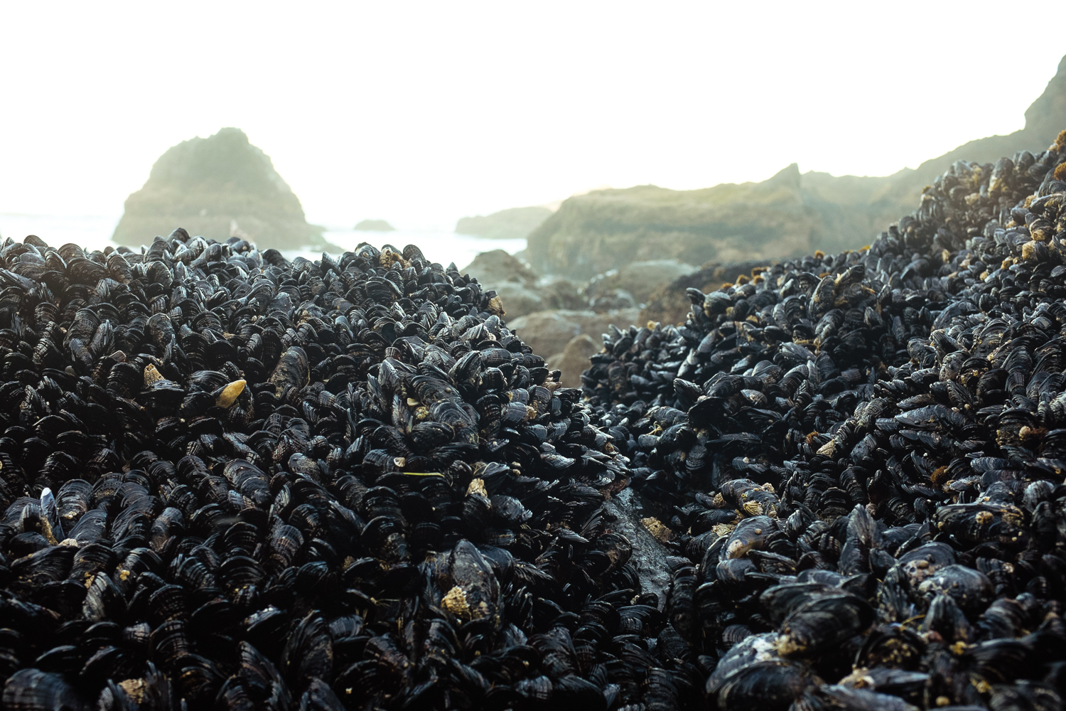 Mussel Colony
