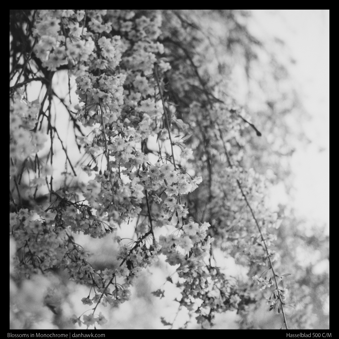 Blossoms in Monochrome