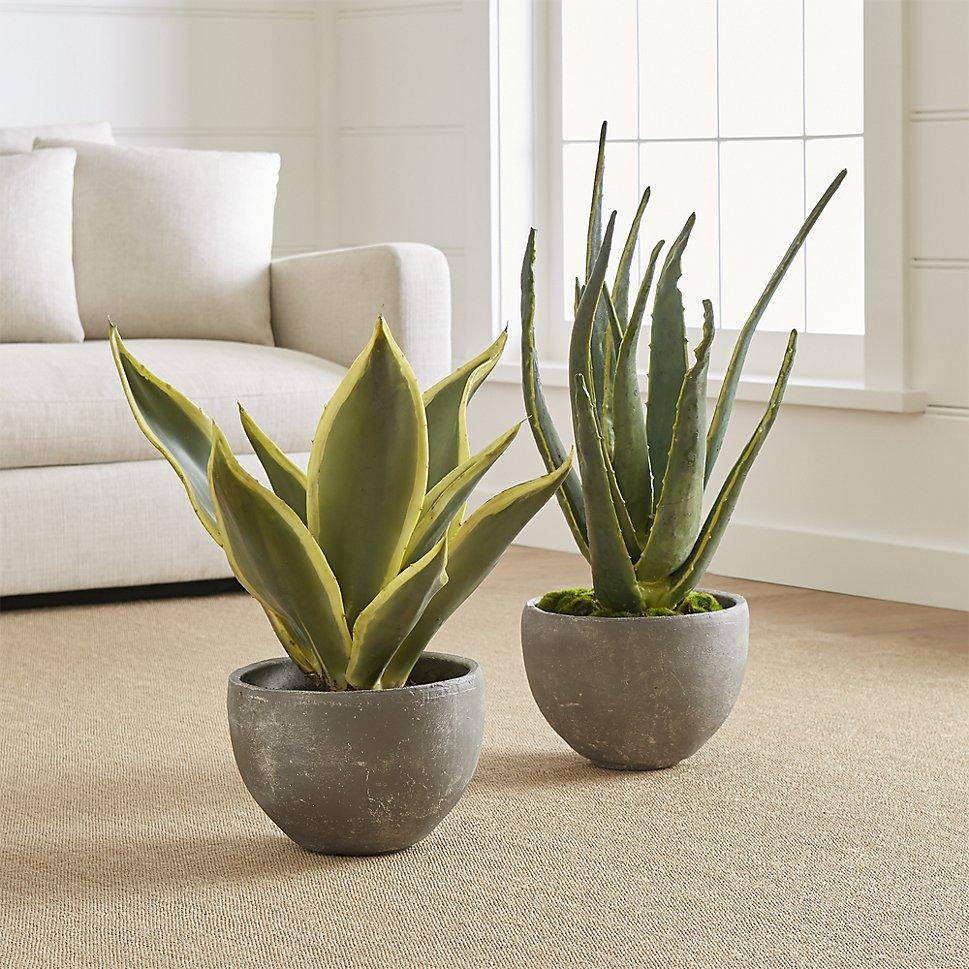 potted-aloe-plants.jpg