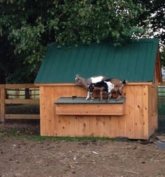 Goats on shed.jpg
