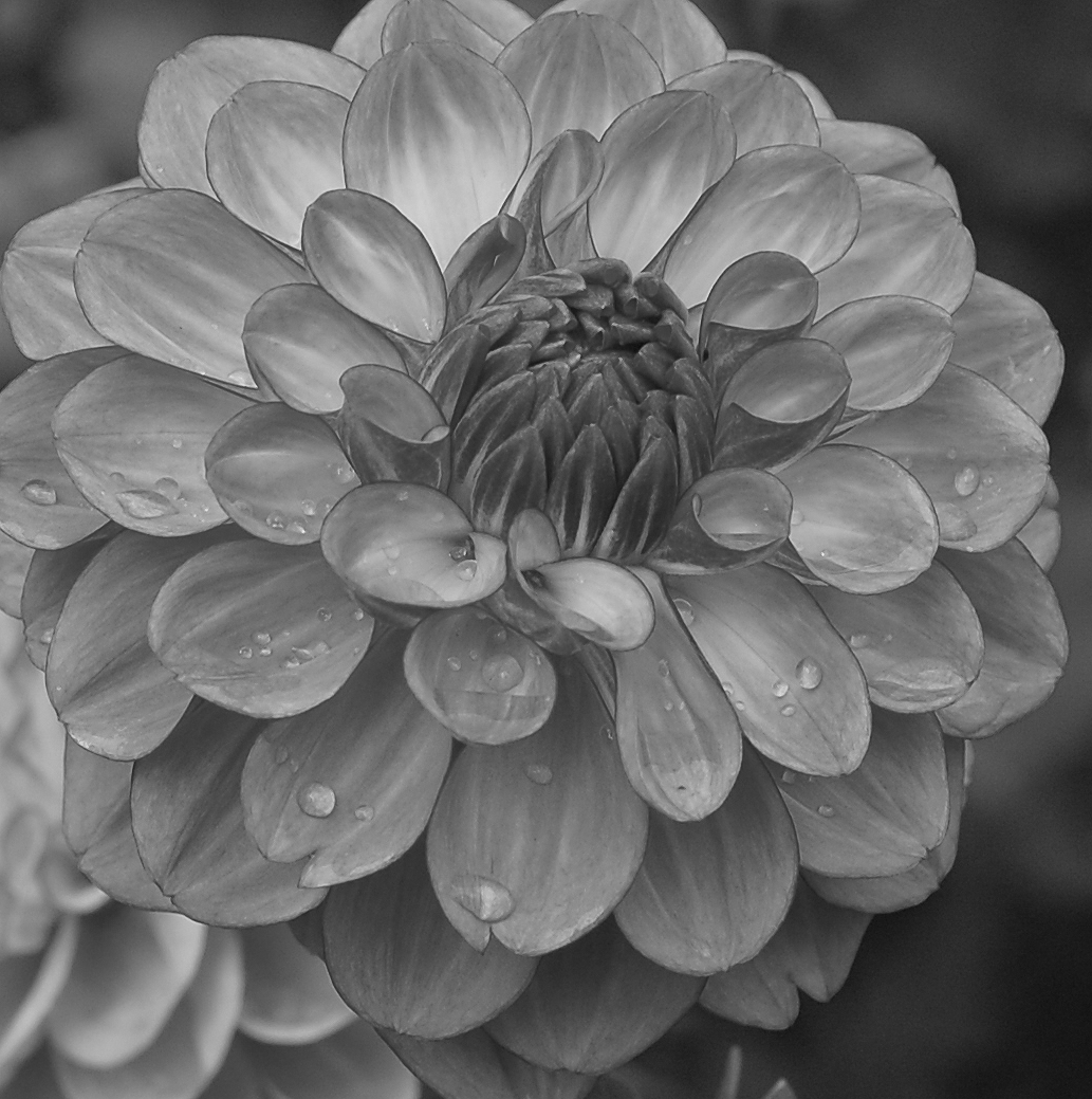 Dahlia ready for image transfer