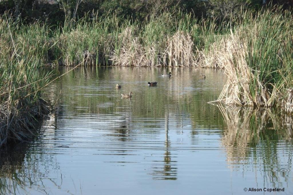 Ducks and Cattails