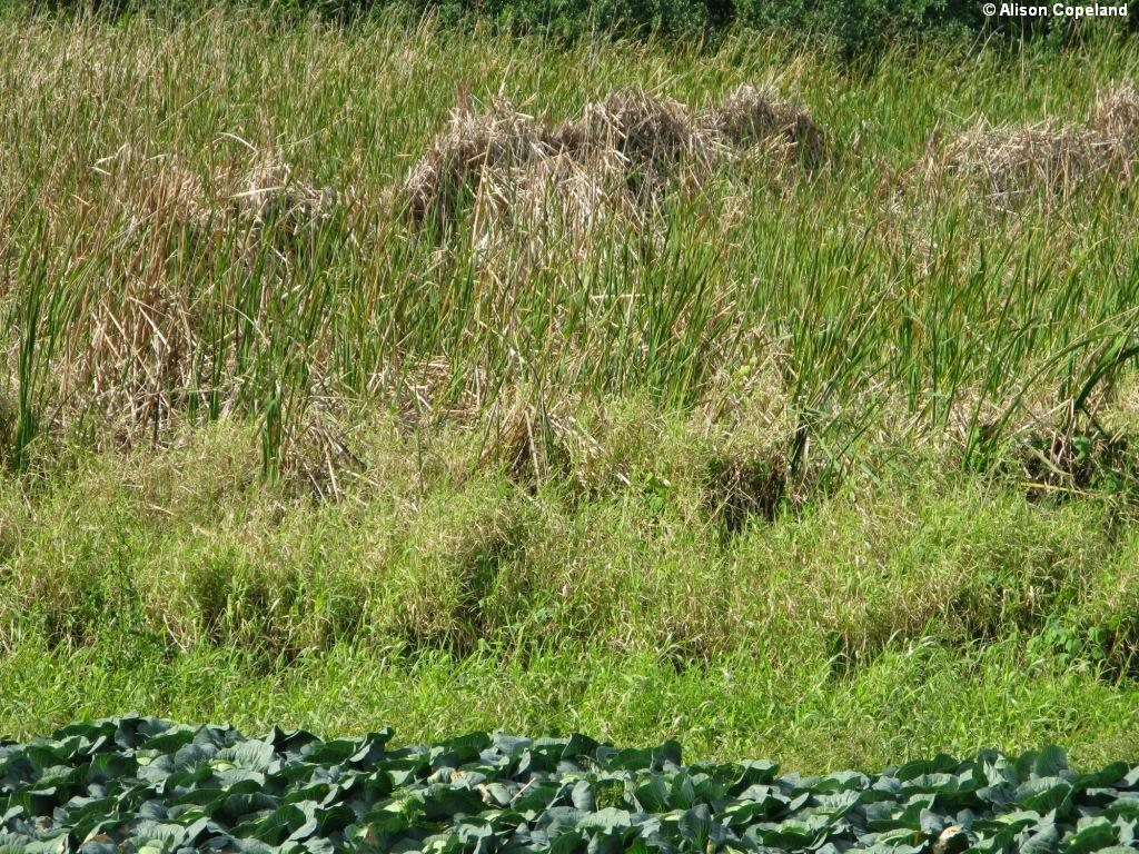 Cattails & Cabbage