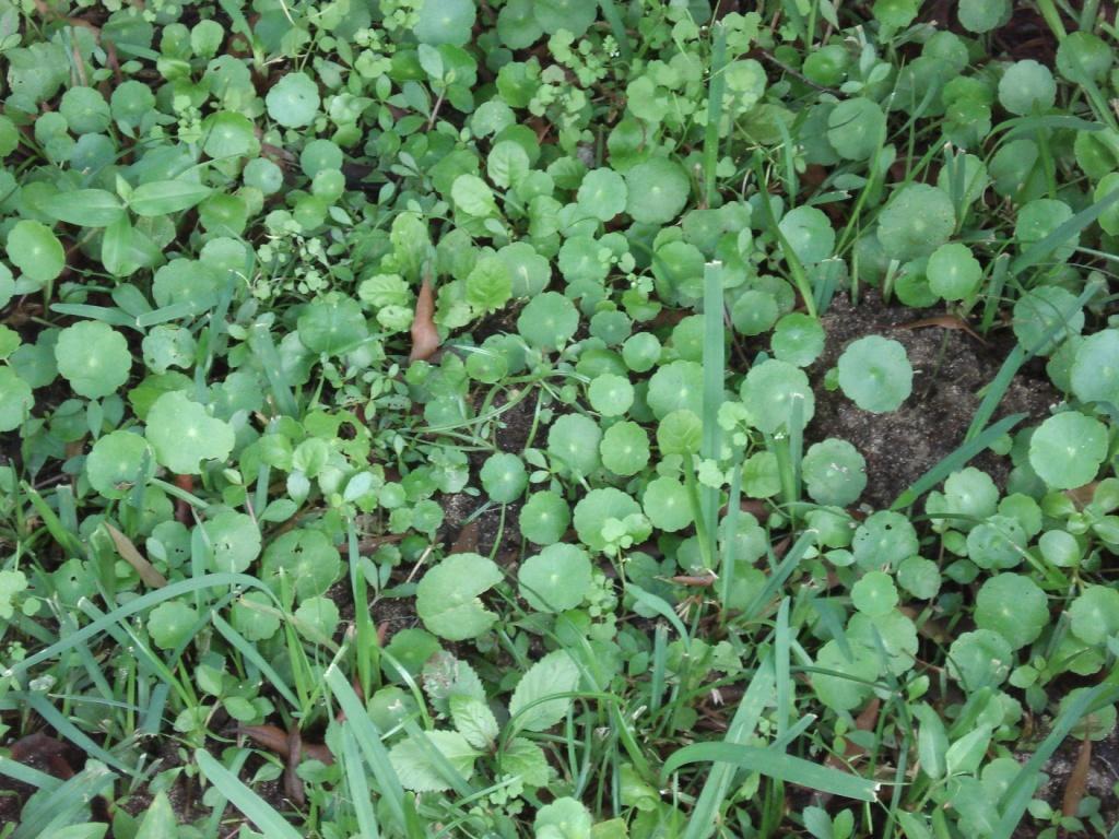 Pennyworts, Devonshire Marsh