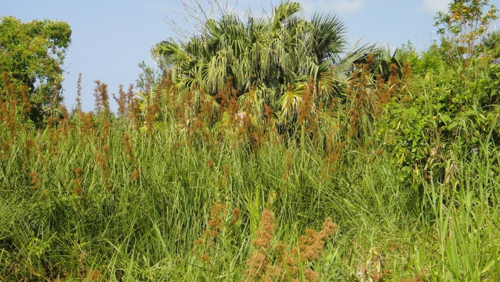 Bullrushes Paget Marsh