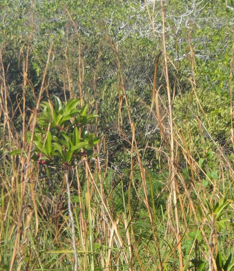 Ardisia in Sawgrass