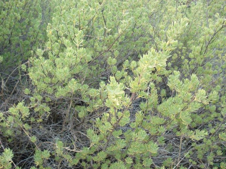 Tassel Plant, Chaplin Bay