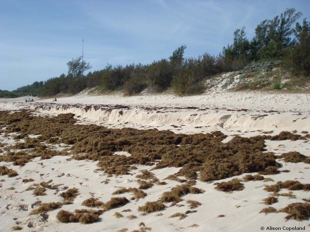 Sargassum weed on Warwick Long Bay