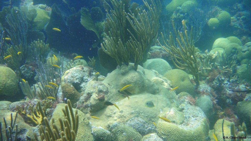 wrasses on reef